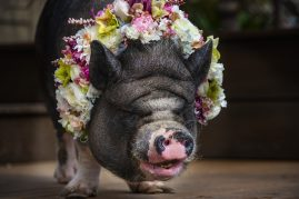 pig with a flower crown
